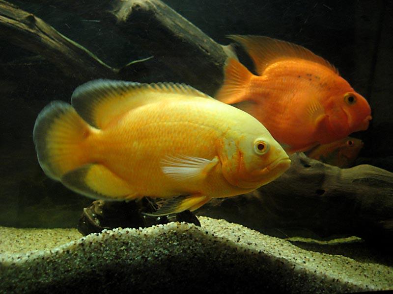 lemon oscar fish - photo #9